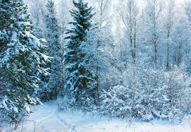 beautiful nature winter scenery frosty trees in cold day stock