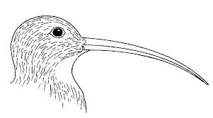 biological drawings bird beaks curlew birds structure