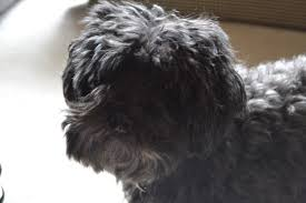 affenpinscher joey cowgirl up going to a tea party pearls and pumps not politics