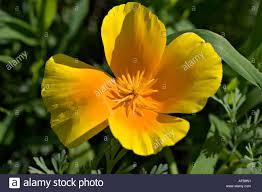 yellow orange flower closeup of california poppy papaveraceae