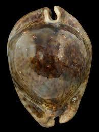 Where To Buy Seashells Shells Passion Buy And Sell Sea Shells
