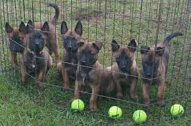 belgian malinois near me mbp belgian malinois get quote pet training 8282 county rd