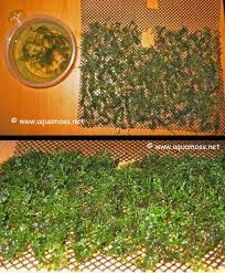Plants For Aquascaping How To Grow Aquatic Moss Wall Aquascape Aquarium Freshwater