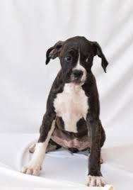 american pitbull terrier for sale in ohio boxer puppies for sale lancaster puppies