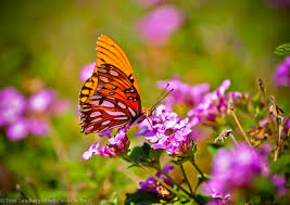 butterfly on pink flowers black on tour