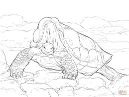 lonesome george pinta island giant tortoise coloring page free