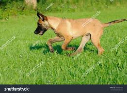 belgian malinois size at 6 months malinois dog puppy belgian shepherd stock photo 103606130