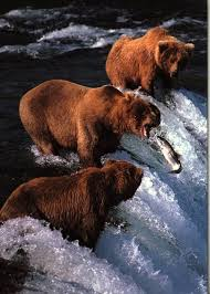 Bears Montana Hunting And Fishing - 85 best grizzly salmon images on pinterest grizzly bears wild