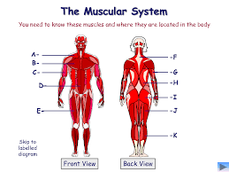 human muscular system blank diagram human anatomy chart