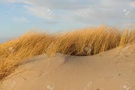 sand dune grass stock photos royalty free sand dune grass images