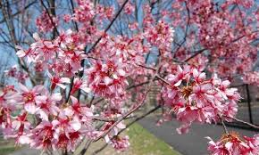 look cherry blossom trees flourish in newark features wnyc