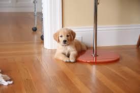 Dogs And Laminate Wood Floors A Love Story About A Dog U2013 Sarah Hinchliff Pearson U2013 Medium