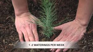 how to grow pine trees from seed youtube