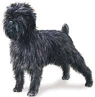 affenpinscher hawaii find puppies and dog breed information at k9sales com