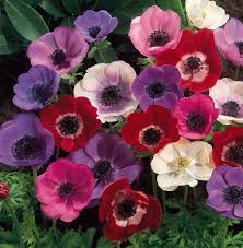 anemones flowers fab flower of the week the anemone a stylish soiree