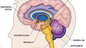 The Anatomy Of The Human Brain Understanding The Brain The Great Courses Plus
