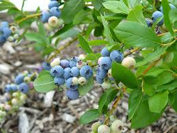 blueberries for home landscapes yard and garden university of