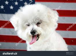bichon frise funny fifi the bichon frise makes a funny face as she sits infront of an