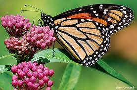 what the monarch butterfly can teach mankind nature s web of