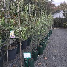 sweet viburnum 200mm pot viburnum seaside garden gallery 266 photos 11 reviews home decor