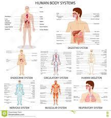 Human Anatomy Diagram Download Images Of Human Organ Systems Human Organ Systems Diagram Human