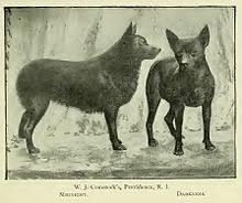 belgian sheepdog history schipperke wikipedia