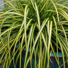 Southern Living Home Decor Catalog Southern Living Plant Collection 2 5 Qt Eversheen Carex 0730q