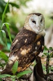 eastern grass owl wikipedia