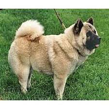 foo dog for sale foo dog puppies for sale from reputable dog breeders