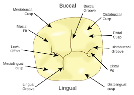 Wheeler S Dental Anatomy Physiology And Occlusion Lewis Offset Wikipedia