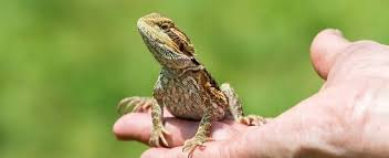 choosing bearded dragon petplace
