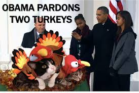 current event cat of the day the traditional thanksgiving turkey