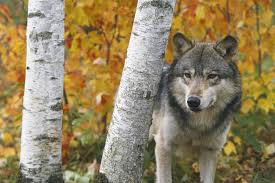 wolf in forest autumn minnesota wall mural wolf in forest save your design for later