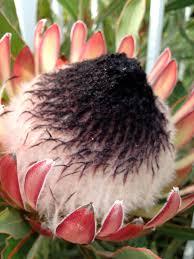 native plants christchurch protea opawa christchurch nz flora pinterest