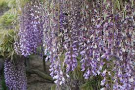 wisteria trees at ashikaga flower park u2013 kristiajohnston