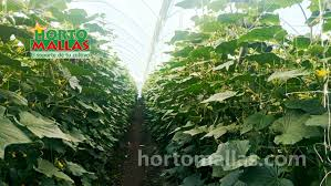 trellis for cucumbers crop netting increases cucumber yields u0026 improves plant health