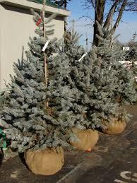 live christmas trees to plant christmas lights decoration