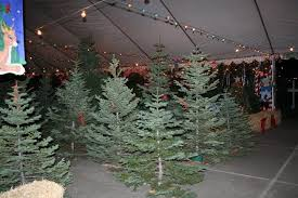 christmas trees near me live christmas trees alameda