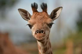 meet chester zoo u0027s new baby giraffe kidepo manchester evening news