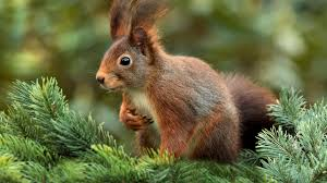 beautiful squirrel on the fir tree hd wallpaper download