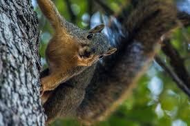 Oklahoma Wildlife images Oklahoma squirrel season is open may oklahoma department of