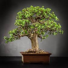 photo gallery the bonsai shop