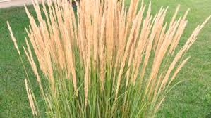wait to trim ornamental grass until next inforum