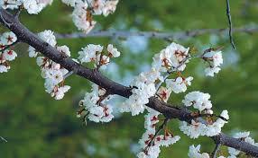 a parade of flowering trees gardening
