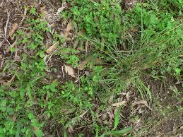 native australian ground cover plants restoring grassy understorey under forest red gum u2013 wolston creek