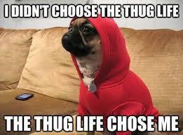 Meme Animals - pug dog say i didn t choose the thug life the thug life chose me