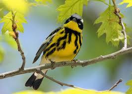 Minnesota birds images Minnesota bird watching report JPG