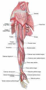 picture of muscles and muscle system human anatomy chart