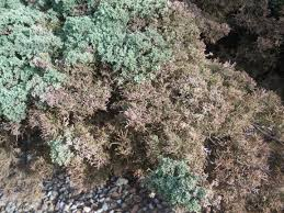 Dying A Rug Blue Pfitzer Junipers Dying Ask An Expert