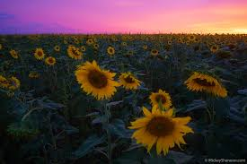 travel blog by mickey shannon photography sunflower fields in kansas